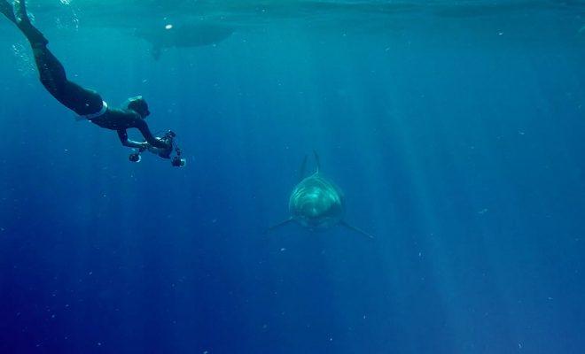 «Sharkfest» покажет самую большую в мире белую акулу